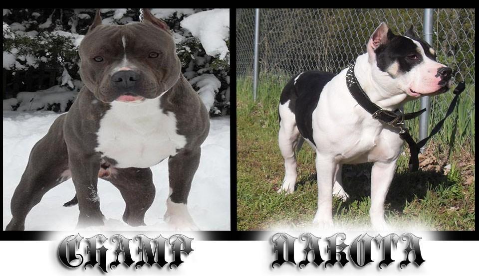 Blue Pitbull Breeders Puppies For Pitbulls American Mi